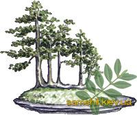 Посадка самшита бонсай из семян