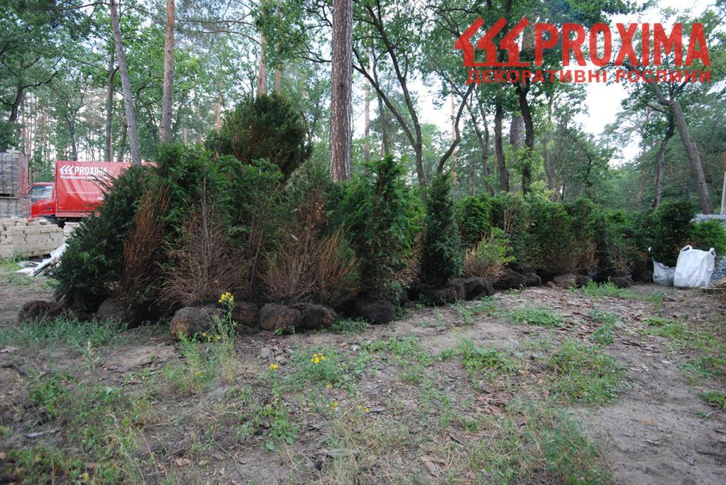Зелёная стена из тиса. Подбор растений для изгороди